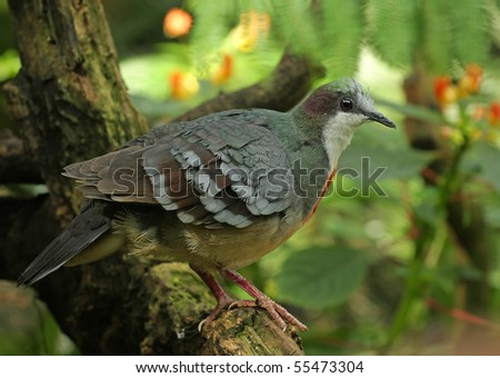 Endangered Luzon Bleeding-heart dove (Gallicolumba luzonica) perched in a Tropical rainforest. Blurred Background - stock photo