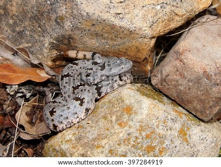 Endangered rare Banded Rock Rattlesnake, Crotalus lepidus klauberi, coiled and ready to strike - stock photo