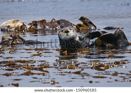 Endangered Sea Otters (Enhydra lutris) in Pacific Ocean (California). Many Otters are seen floating in the safety of the sea kelp.  California, USA. - stock photo