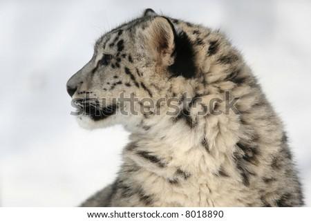 Endangered Snow Leopard (Panthera uncia) - stock photo