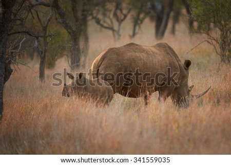 Endangered white rhino with a calf in savanna with distant trees in background, colorful evening light - stock photo