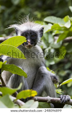 Endangered Zanzibar red colobus monkey (Procolobus kirkii), Jozani forest, Zanzibar - stock photo