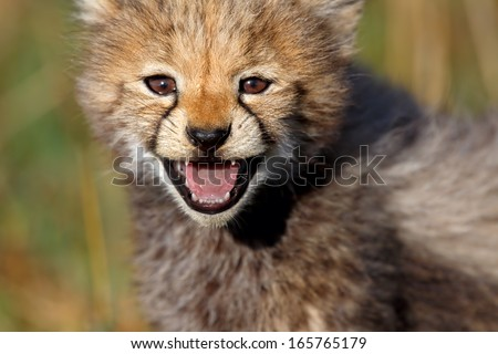 Endearing portrait of a seven weeks old Cheetah, which calls the mother in Masai Mara, Kenya - stock photo