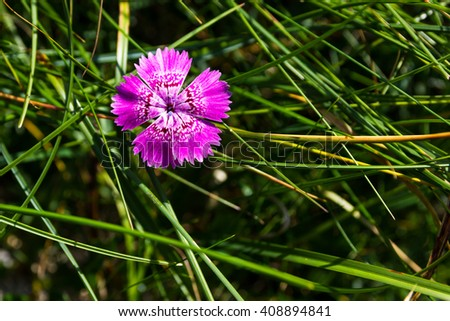 Endemic pink flower found only in Piatra Craiului mountains in romanian Carpathians - stock photo