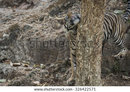Endemic Sumatran Tiger Marking Territory - stock photo