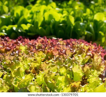 endive lettuce vegetables sprouts food textures - stock photo