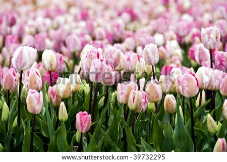 Endless field of pink to white speckled tulip flowers