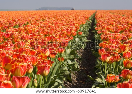 Endless field with orange tulips in te Netherlands - stock photo