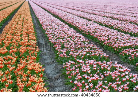 Endless rows of beautiful tulips in the Netherlands