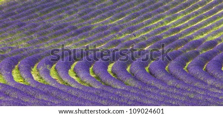 Endless rows of scented flowers in the lavender fields of the French Provence. - stock photo