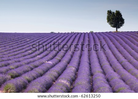 Endless rows of scented flowers in the lavender fields of the French Provence near Valensole - stock photo