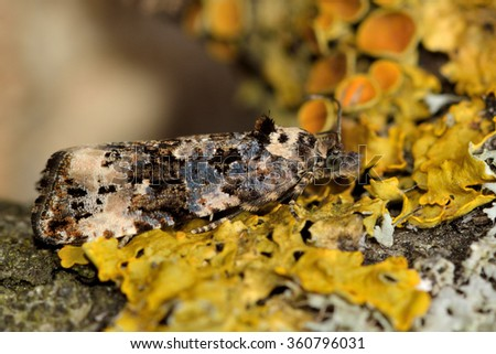Endothenia gentianaeana moth in family Tortricidae. This is one of three very similar moths, and this species has been identified based on size and the presence of dark hindwings  - stock photo