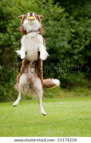 energetic dog catching a tennis ball in mid-air - stock photo