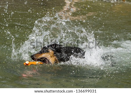 Energetic young purebred black-and-tan German Pinscher playing fetch, swiming in a lake. Close up, very short exposure to freeze waterdrops in flight. - stock photo