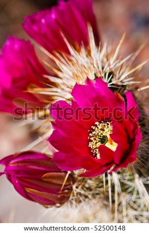 Englemann's Hedgehog cactus is one of the most common hedgehog cacti found in the southwestern deserts. Its purple to magenta flowers and four well-armed central spines help to identify it. - stock photo