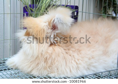 English Angora Rabbit at rest in her cage. - stock photo