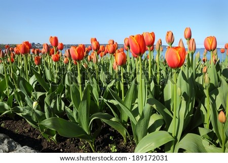 English Bay Tulips, Vancouver. Tulips blossom on English Bay beach on a sunny, spring day. Vancouver, British Columbia, Canada.  - stock photo