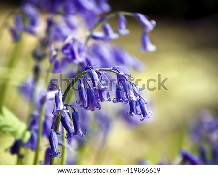 English bluebell - Hyacinthoides non-scripta; close-up of stem of English native bluebells; differential focus  - stock photo