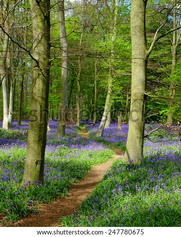 English Bluebell Wood - stock photo