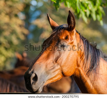 English breed horse portrait, summer day, closeup