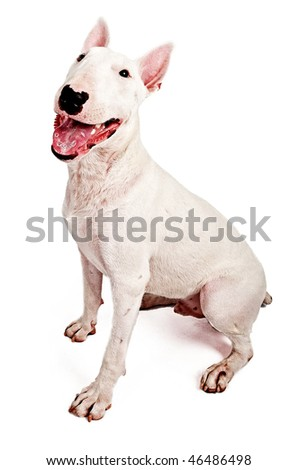 English Bull Terrier - stock photo