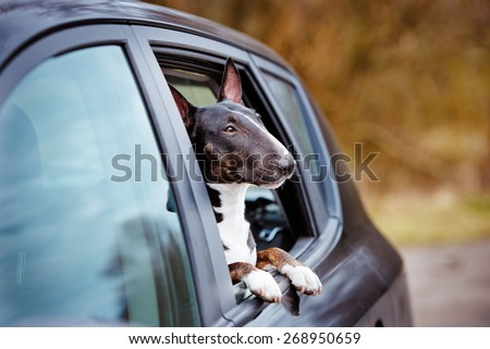 english bull terrier dog in a car window - stock photo