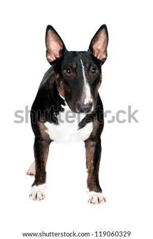 english bull terrier dog isolated - stock photo