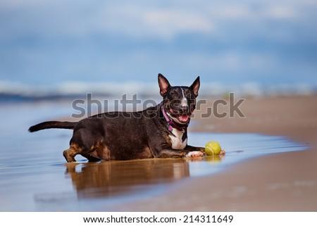 english bull terrier dog on a beach - stock photo