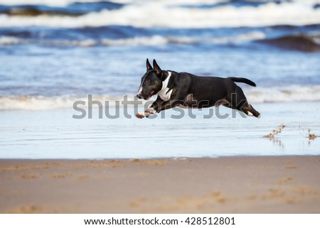 english bull terrier dog running on a beach - stock photo
