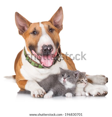 English bull terrier dog with kittens