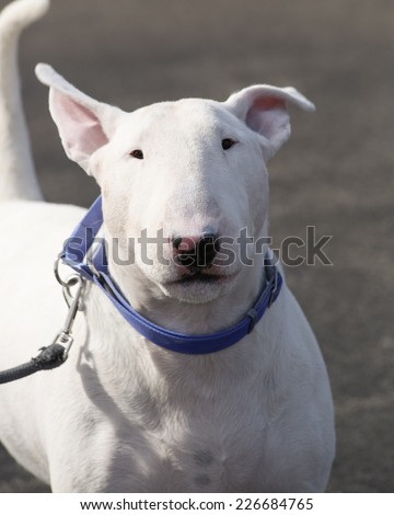 English bull terrier head shot with a crooked ear - stock photo