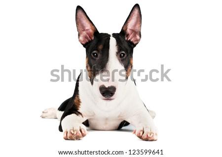 english bull terrier puppy - stock photo
