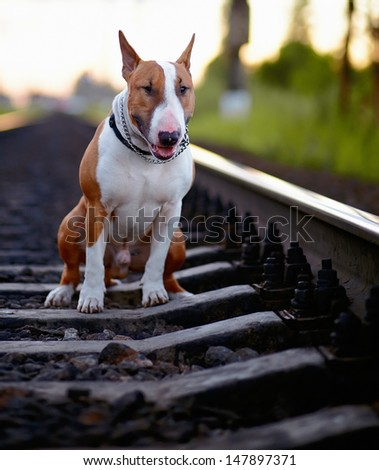 English bull terrier. Thoroughbred dog. Canine friend. Red dog. Bull terrier on rails. Bull terrier and railroad.