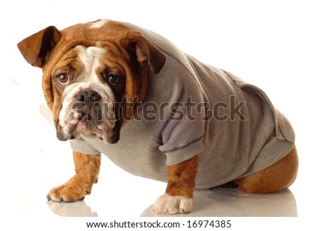 english bull wearing workout gear ready to start training - stock photo
