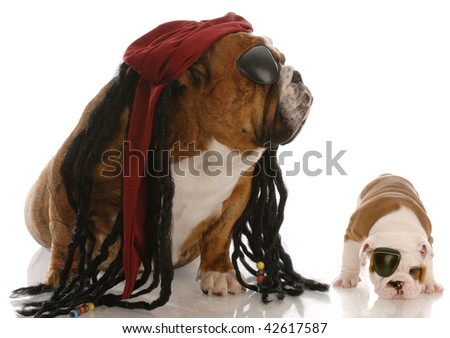 english bulldog adult and puppy dressed up as pirates - stock photo