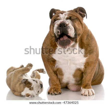 english bulldog adult dog laughing a silly puppy on white background - stock photo