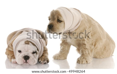 english bulldog american cocker spaniel puppy with head in bandage with reflection on white background