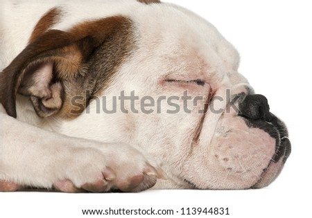 English Bulldog, 5 and a half months old, lying close up against white background