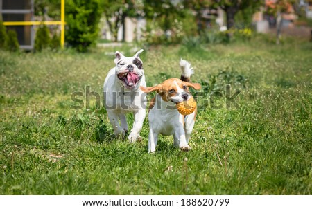 English Bulldog and Beagle dog - stock photo