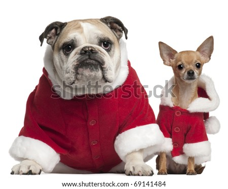 English Bulldog and Chihuahua in Santa outfits sitting in front of white background