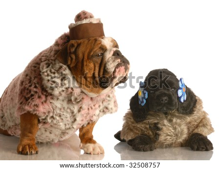 english bulldog and cocker spaniel puppy dressed up in fur coats
