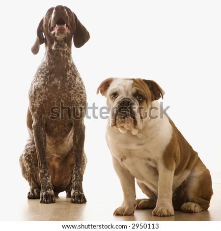 English Bulldog and German Shorthaired Pointer sitting. - stock photo