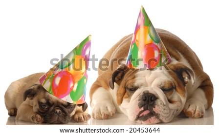 english bulldog and pug puppy wearing birthday hat isolated on white background - stock photo