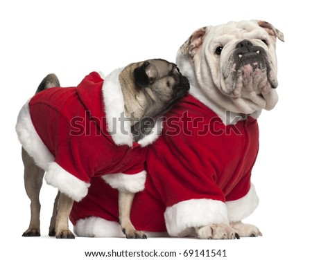 English bulldog and Pug wearing Santa outfits in front of white background - stock photo