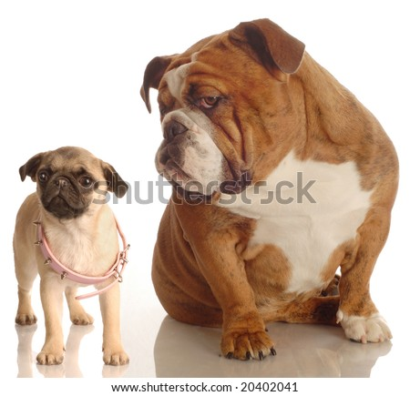 english bulldog annoyed with pug puppy that is wearing collar that is too big - stock photo