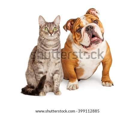 English Bulldog breed dog and pretty tabby cat sitting together over white - stock photo