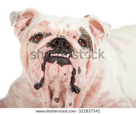 English Bulldog breed dog with a severe case of Demodicosis, also called demodectic mange which is a skin condition caused by mites - stock photo