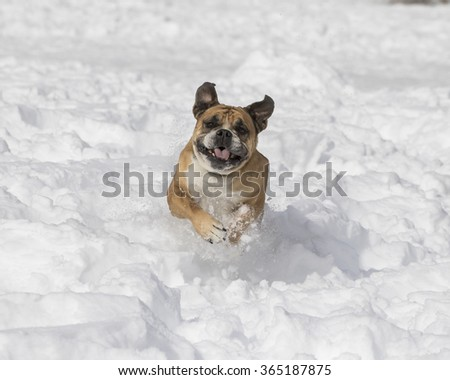 English Bulldog charging through the snow - stock photo