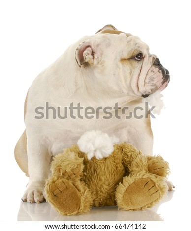 english bulldog chewing on stuffed bear with stuffing hanging out of mouth - stock photo