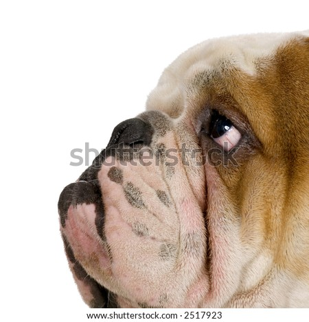 english Bulldog cream and white in front of white background - stock photo